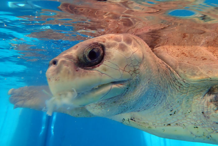 Turtle patient Azura eating lobster. Image.