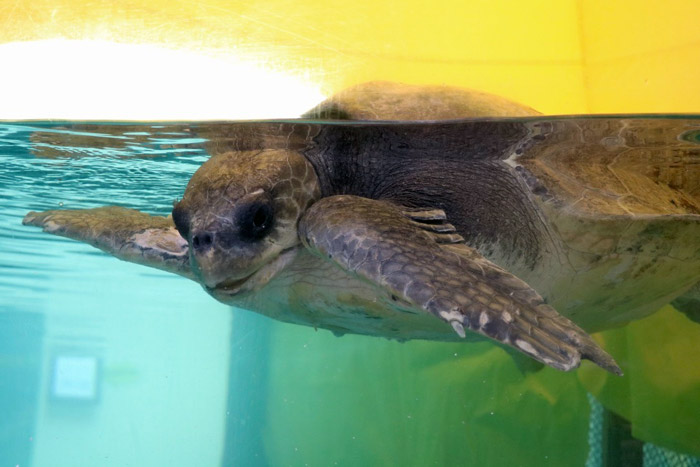 Turtle pateint Kraken in the tank at ORP Turtle Rescue Centre. Image.