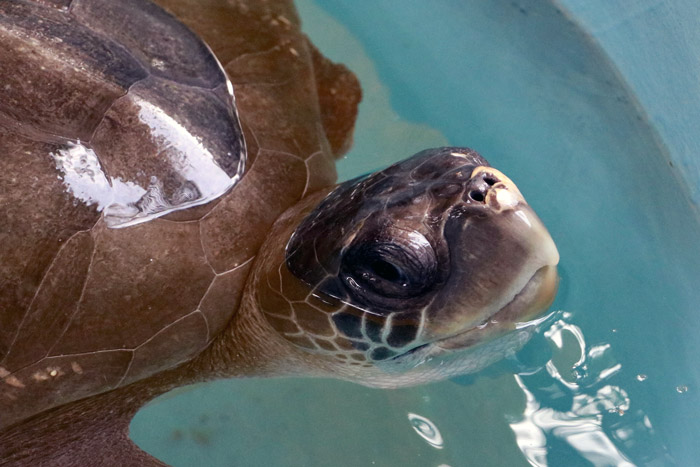 Turtle patient Nouvelle coming up for air. Image.