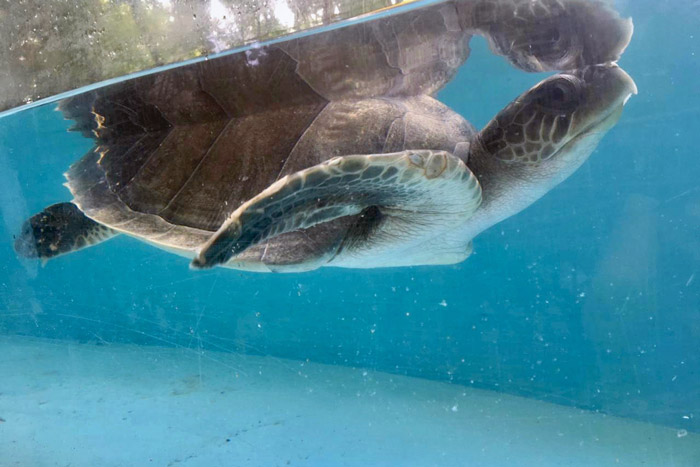 Turtle patient Nouvelle swimming in her tank. Image.