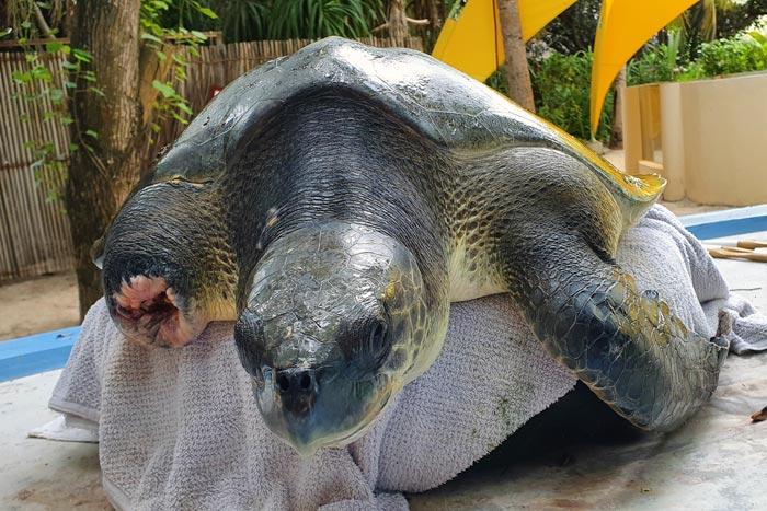 Ghost gear victim Shellma, olive ridley turtle. Image.