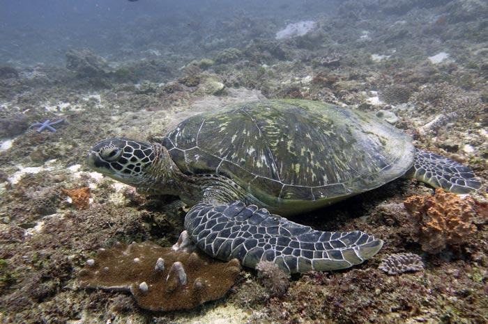 Adult female green turtle on Mwanamochi reef, Diani Kenya. Image.