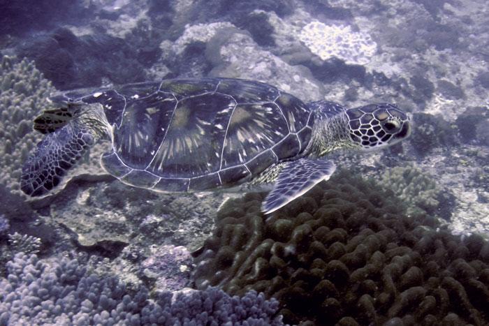 Green turtle on reef, Diani, Kenya. Image.