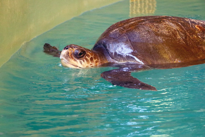 Turtle patient Kalani popping up for air. Image.