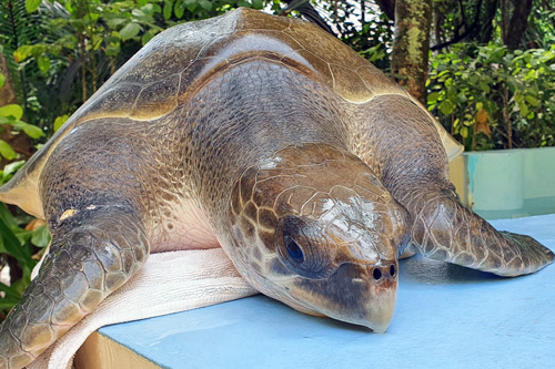 Turtle patient Ollie. Image.