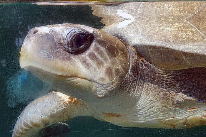 Olive ridley turtle patient Seaheart in closeup. Image.