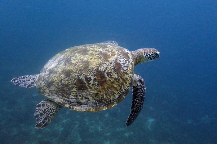 Green turtle in the blue, Milele Reef, Diani, Kenya. Image.