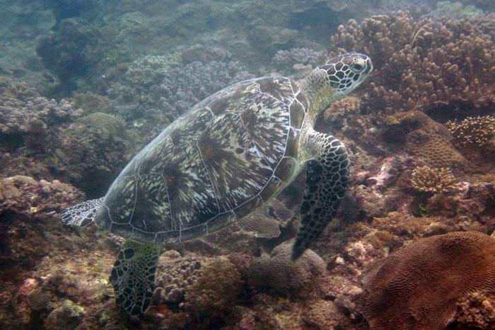 Green turtle on the reef, Diani, Kenya. Image.