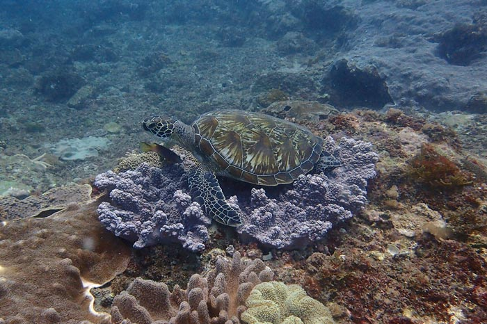 Green turtle, Miele Reef, Diani, Kenya. Image.