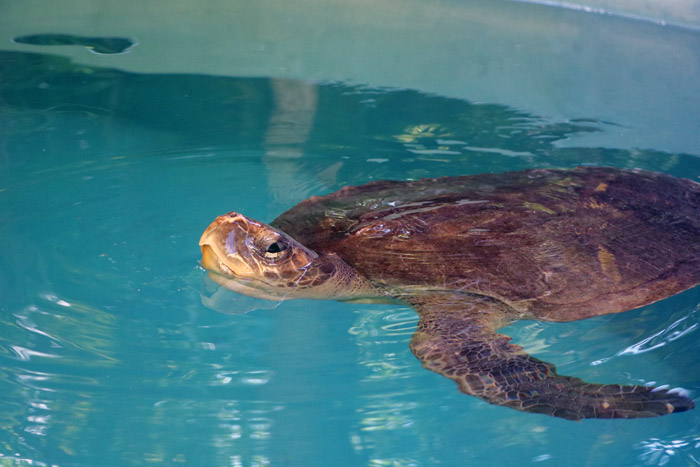 Turtle patient Shellma coming up for air. Image.