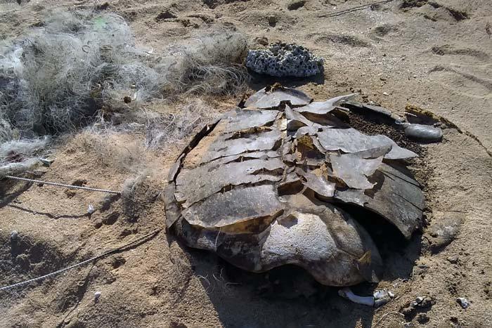 Green turtle dead from ghost net entanglement on Astola Island. Image.