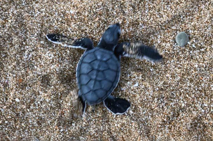A green turtle hatchling scrambling to the sea, Astola Island, Pakistan. Image.