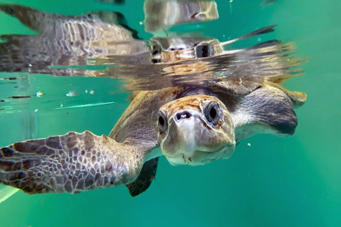 Turtle patient Thari in her tank, ORP Turtle Rescue Centre, Maldives. Image.