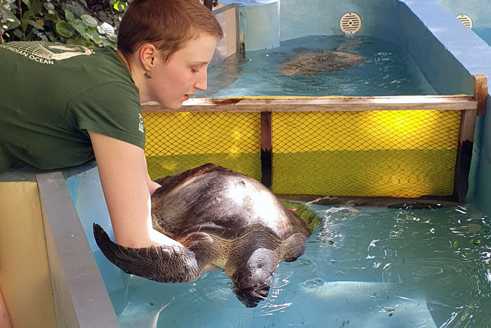 Turtle patient Amber being placed in the tank by volunteer Jade. Image.