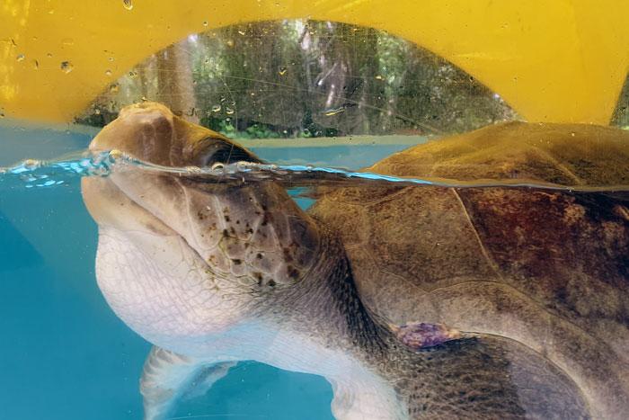 Turtle patient Honu blowing bubbles. Image.