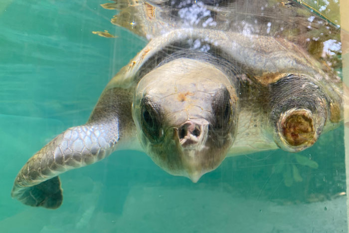 Olive ridley ghost gear victim at ORP Turtle Rescue Centre. Image.