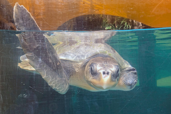 Turtle patient Amber with her flipper raised. Image.