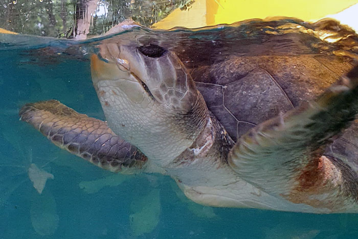 Turtle patient Maadhu coming up for air in the Rescue Centre tank