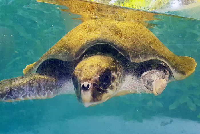 Turtle patient Sunan, ghost net victim, in the rescue centre tank. Image.