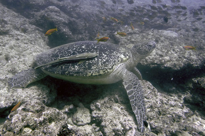 Green turtle on Kisma Mungu reef, Diani, Kenya. Image.