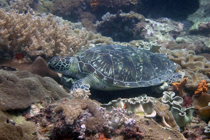 Green turtle on Galu Reeg, Diani, Kenya. Image.