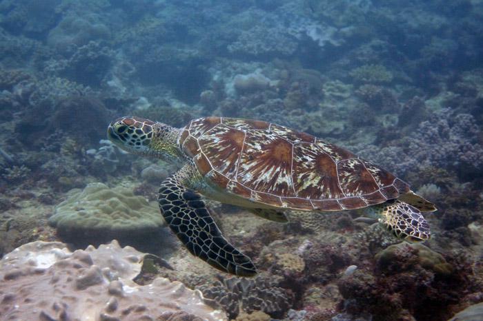 Green turtle, Milele Reef, Diani, Kenya. Image.