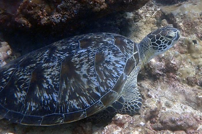 Green turtle resting on the reef, Diani, Kenya. Image.