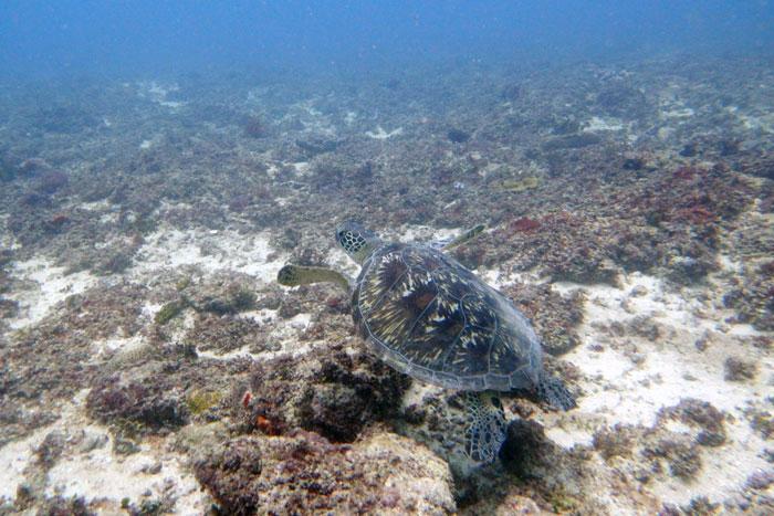 Green turtle on a reef, Diani, Kenya. Image.
