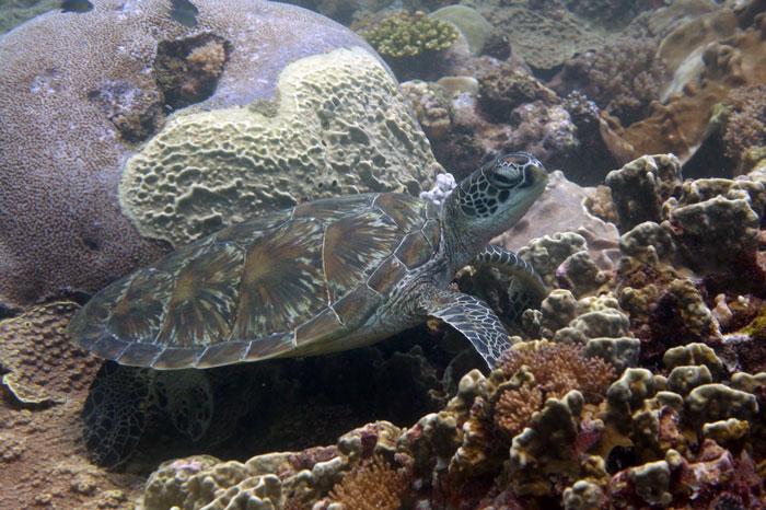 Green turtle, Galu reef, Diani, Kenya. Image.