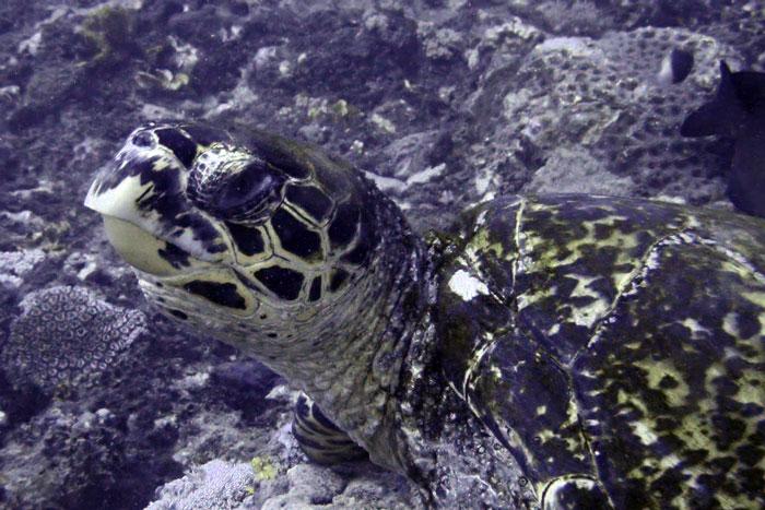 Hawksbill turtle on Kisima Mungu reef, Diani, Kenya. Image