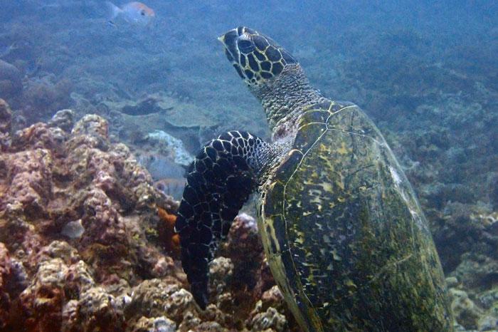 Hawksbill turtle on Galu Reef, Diani, Kenya. Image.