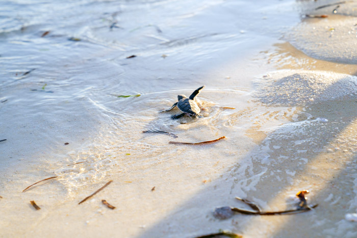 A green sea turtle hatchling enters the water, Laamu Atoll, Maldives.