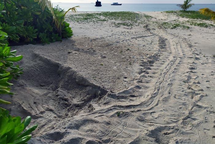 Freshly laid green turtle nest with tracks, Kuredu, Lhaviyani Atoll, Mladives. Image.