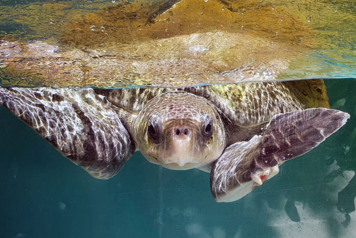 Adult male olive ridley turtle baient Abba in his tank. Image.