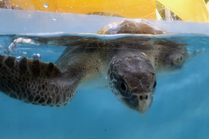 Turtle patient Amber recovering at the Marine Turtle Rescue Centre. Image.