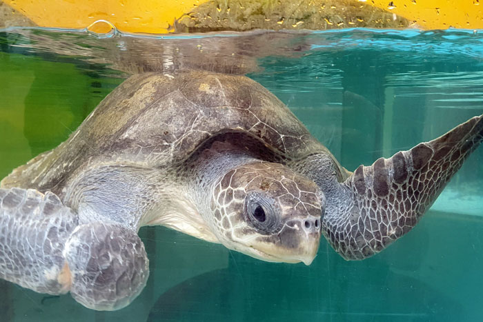 Turtle patient Cal, ghost gear victim, in his tank at the Rescue Centre. Image.