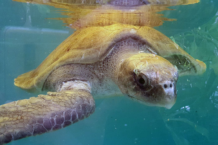 Turtle patient Seaheart in his tank at the Marine Turtle Rescue Centre. Image.