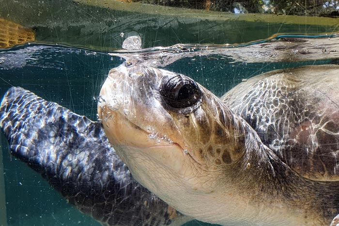 Turtle patient Abba blowing bubbles in his tank. Image.