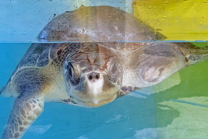 Turtle patient Amber in her tank. Image.