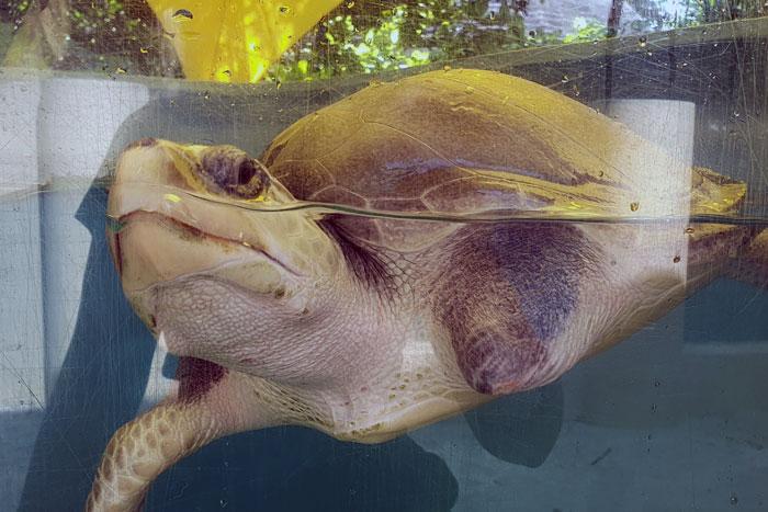 Turtle patient Disco in her tank. Image.