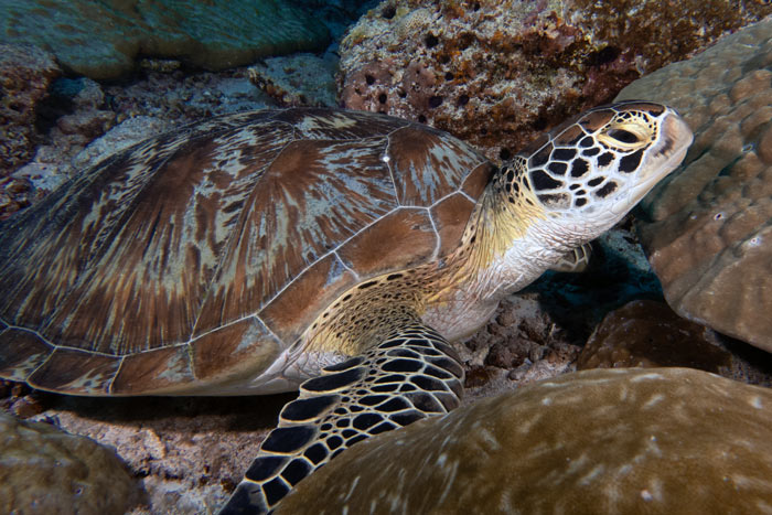 Juvenile green sea turtle resting at Hithadhoo Corner, across the channel from Gaadhoo island, Laamu Atill, Maldives.. Image