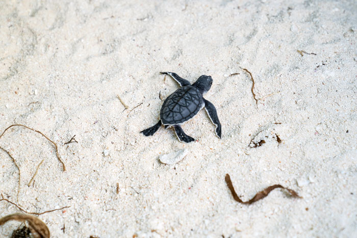 Green sea turtle hatchling running down the beach to the sea after emerging from its nest in the sand. Image.
