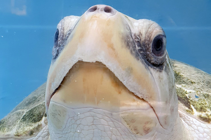 Close-up of turtle patient Heidi. Image.