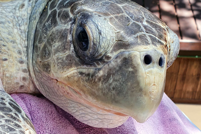 Turtle patient Seaheart. Image.