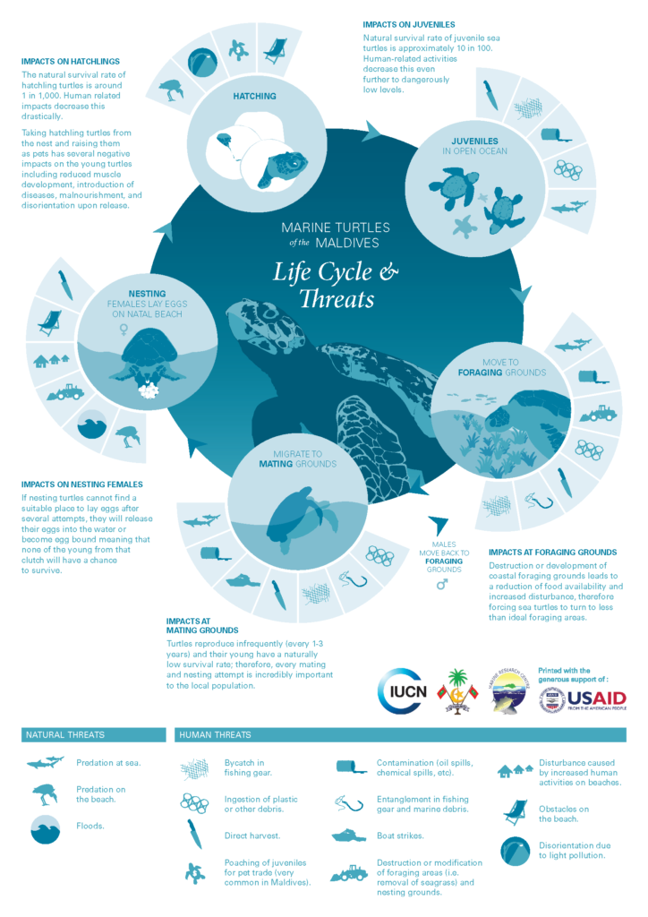 Life cycle of sea turtles. Infographic.
