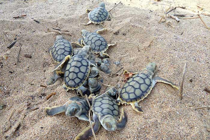Flatback turtle hatchlings, Peak Island, east coast Australia. ©Linda Reinhold. Image.
