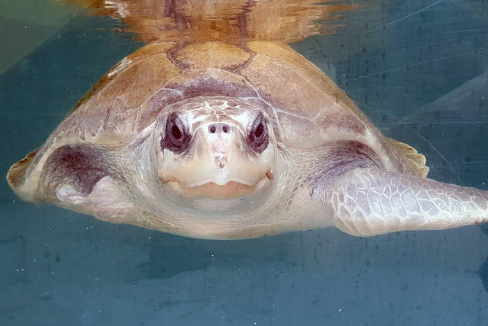 Turtle patient smiling Jannicke in her tank. Image.