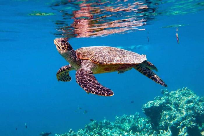 Hawksbill coming up to breath, Maldives. Image.