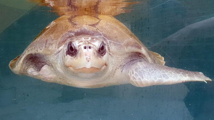Turtle patient Jannicke in her tank. Image.