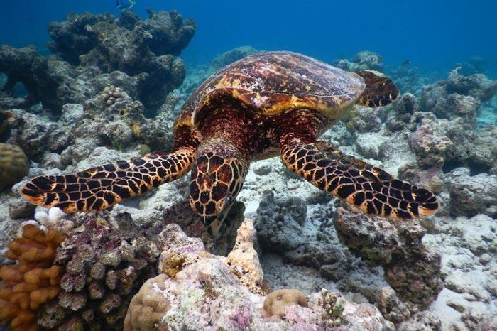 Hawksbill sea turtle foraging on a reef, Baa Atoll, Maldives. Image.